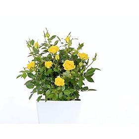 Cây ngoài trời hoa hồng vàng