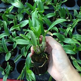 Combo 5 cây giống hoa lan Dendro Thái màu nắng dễ trồng, siêng hoa, giao màu ngẫu nhiên, không lựa màu