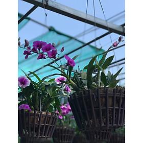 Hoa lan chậu treo