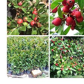 Cây giống ổi sim nhật bản, cây có trái màu đỏ trồng làm cảnh, lấy trái, cây trang trí sân vườn dễ trồng