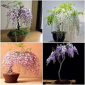 Hg15 Gói 5 hạt giống hoa tử đằng trồng chậu F1 đẹp mê hồn ĐẾN MÙA TRỒNG TẾT