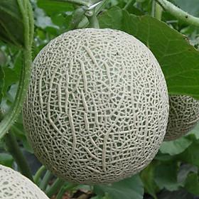 Hạt giống Dưa lưới xanh F1 - Titapha nảy mầm cao
