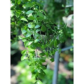 Cây lan dolla chậu treo vườn xanh 24h