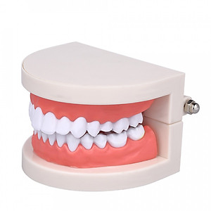 Hình đại diện sản phẩm Standard Tooth Teaching Giant Dental Dentist Teeth Model Child Kidtraining Model Disease Teeth Medical Educational Model
