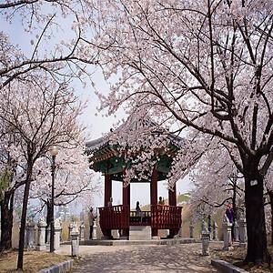 Hình đại diện sản phẩm Tour Hàn Quốc Mùa Hoa Anh Đào Rực Rỡ 5N4Đ : Khám Phá Seoul - Đảo Nami - Công Viên Everland & Yeouido