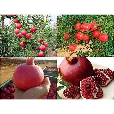Cây lựu đỏ Ấn Độ tứ mùa (ảnh thật số 2)
