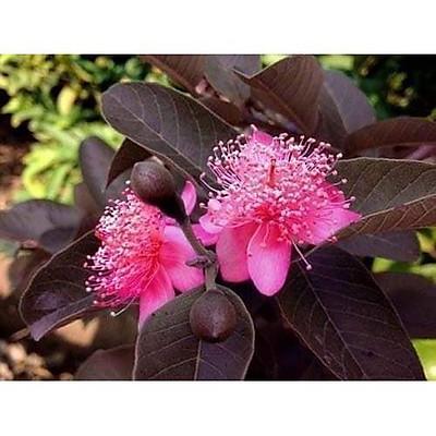 Cây ổi tím Malaysia đang hoa và trái