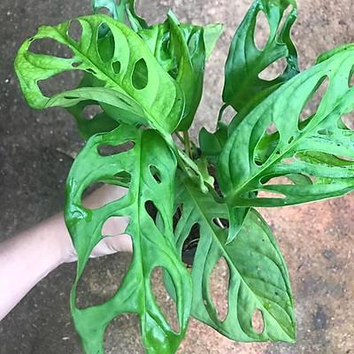 Trầu bà lá lỗ, cây khoẻ, lá xanh đẹp, thân dài 20-40cm