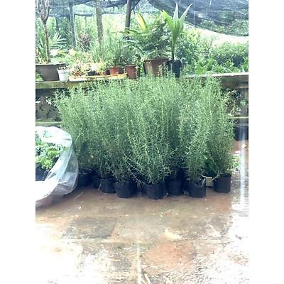 Cây hương thảo - Rosemary cao 60cm (ảnh thật)