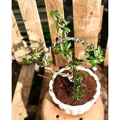 Cây ổi Hoàng Kim dáng bonsai