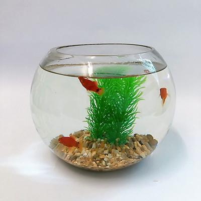 Combo bể cá mini thủy tinh tròn để bàn