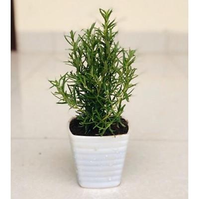 Cây hương thảo - rosemary - cây gia vị với hương thơm dịu nhẹ, vừa đuổi muỗi lại giúp thư giãn