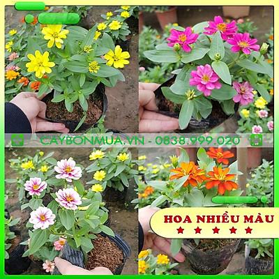 Cây Hoa Cúc Lá Nhám, bịch đen cao 25-30cm, được lựa chọn đủ màu sắc.