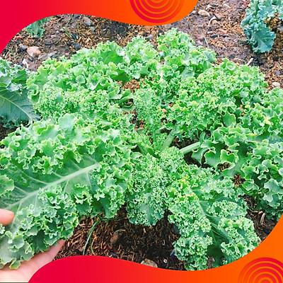 02 Gói Hạt Giống Cải Kale ( Cải Xoăn Xanh ) - Nảy Mầm Cực Chuẩn