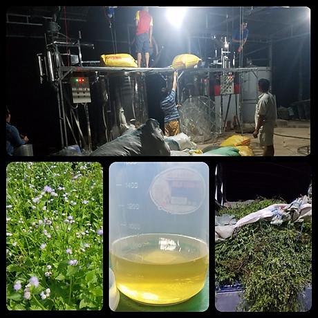 Tinh dầu hoa Ngũ Sắc (hoa cỏ hôi) 10ml Mộc Mây - tinh dầu nguyên chất từ thiên nhiên - Có kiểm định Bộ Y Tế, chất lượng và mùi hương vượt trội 3