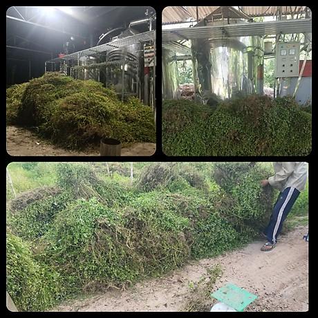 Tinh dầu hoa Ngũ Sắc (hoa cỏ hôi) 10ml Mộc Mây - tinh dầu nguyên chất từ thiên nhiên - Có kiểm định Bộ Y Tế, chất lượng và mùi hương vượt trội 2
