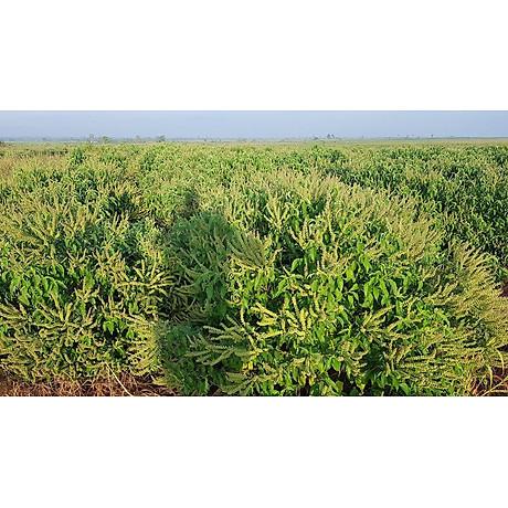 Tinh dầu Hương Nhu 100ml Mộc Mây - tinh dầu thiên nhiên nguyên chất 100% - chất lượng và mùi hương vượt trội - chuyên gia chăm sóc tóc hư tổn 10