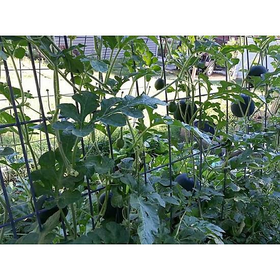 Bộ 1 gói Hạt giống dưa tròn-trồng ban công - The Xanh