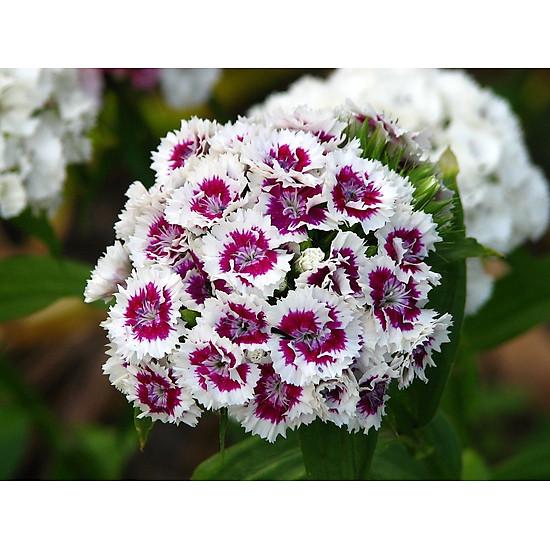 Bộ 1 gói Hạt giống hoa cẩm chướng chùm