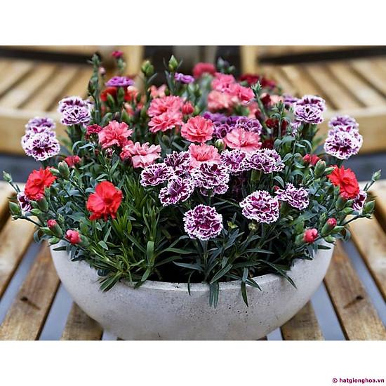 Bộ 1 gói hạt giống hoa cẩm chướng kép-the xanh