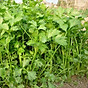 Bộ 2 Gói hạt giống Ngò rí Bạc Liêu nảy mầm chuẩn 20Gr x2 thumbnail