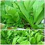Bộ 3 Gói Hạt giống cải bẹ xanh mỡ RADO 57 (20g gói) - Mustard greens seeds thumbnail
