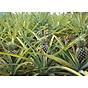 Tinh dầu Dứa (thơm, khớm) 10ml Mộc Mây - tinh dầu thiên nhiên nguyên chất 100% - chất lượng và mùi hương vượt trội - Có kiểm định - Mùi nhiệt đới, mát, ngọt ngào, sản khoái...mùi của tuổi trẻ và sự thư giản 3