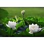 Tinh dầu hoa Sen Trắng 100ml Mộc Mây - tinh dầu thiên nhiên nguyên chất 100% - chất lượng và mùi hương vượt trội - Có kiểm định 12