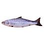 Cá Bông Catnip Cho Mèo Kún Miu - Cá Biển (40cm) thumbnail