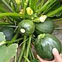 Gói 10 hạt giống bí ngòi tròn năng Suất thumbnail