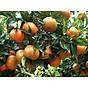 Tinh dầu Cam ngọt 50ml Mộc Mây - tinh dầu thiên nhiên nguyên chất 100% - chất lượng và mùi hương vượt trội 13
