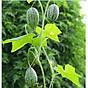 Hạt giống dưa hấu tí hon 5 hạt 7