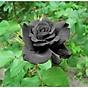 Bộ 1 gói Hạt giống hoa hồng đen thumbnail