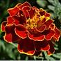 100H - Hạt giống vạn thọ Pháp màu Đỏ thumbnail
