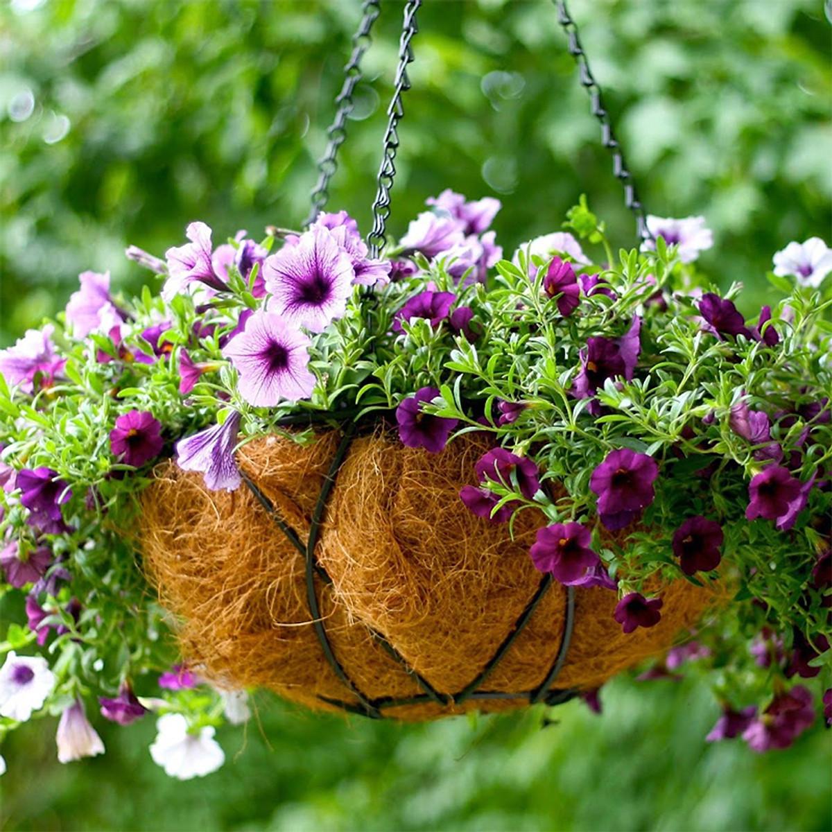 Hạt giống hoa Dạ yến thảo rủ Golden Seeds 50 Hạt - 2