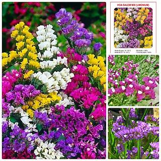 5 Gói Hạt Giống Hoa Salem Mix (50 hạt / gói) - hình 1
