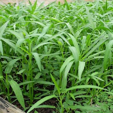 Hạt giống rau muống lá tre thái lan