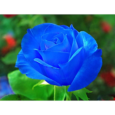 Bộ 1 gói Hạt giống hoa hồng xanh