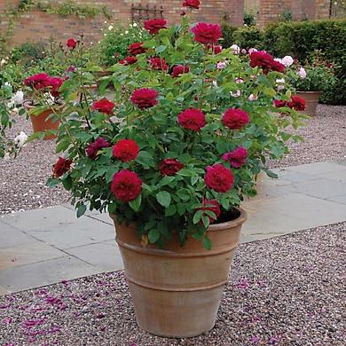 Bộ 3 gói Hạt giống hoa hồng bụi