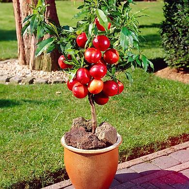 Bộ 1 gói Hạt giống táo đỏ lùn