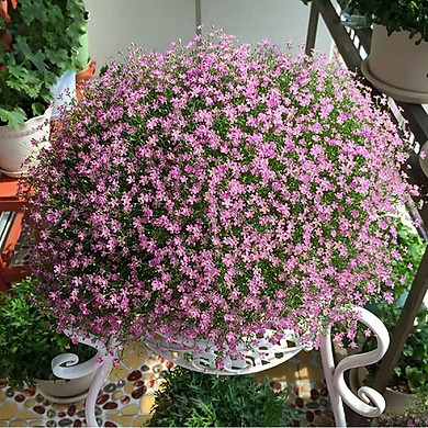 Gói 100 hạt giống hoa lưu ly hồng