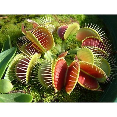 Bộ 1 gói hạt giống cây bắt mồi