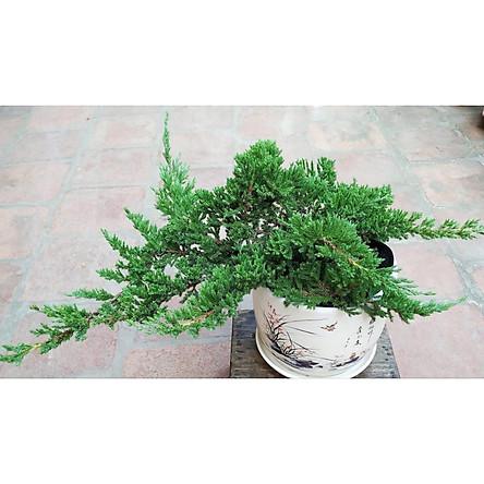 Cây tùng xà bonsai