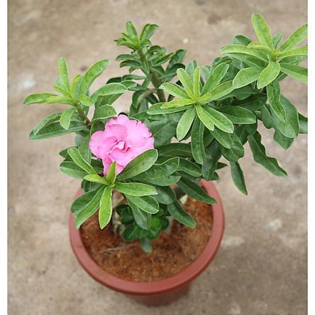 Cây sứ Thái gốc to đang có hoa và nụ ST6