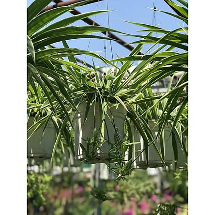 Cây cỏ nhện chậu treo