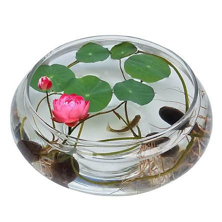 10 Hạt giống Hoa Sen Mini Nhật ( Màu Ngẫu Nhiên ) - Nông Sản Vàng