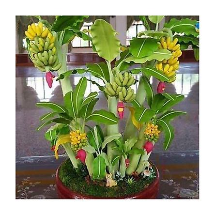 Hạt giống chuối bonsai tài lộc-10 hạt