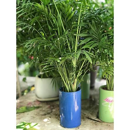 Cây Cau tiểu trâm mẫu mới vườn xanh 24h