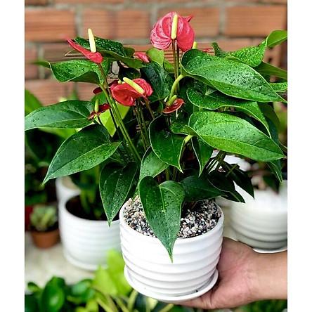 Chậu sứ cây hồng môn đỏ tặng kèm đá trang trí