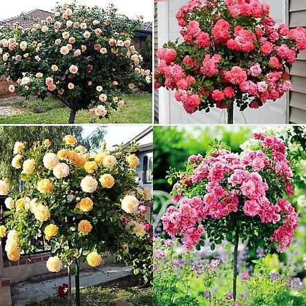 Cây giống hoa hồng thân gỗ bầu đất ổn định - giống hồng ngoại giá rẻ cho ng mới tập chơi hồng - giao màu hoa ngẫu nhiên